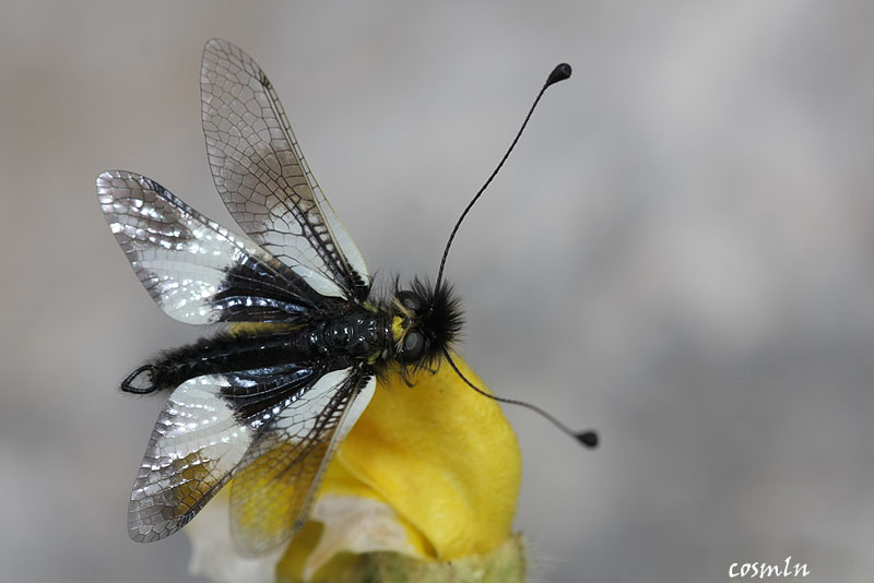 Ascalaphus