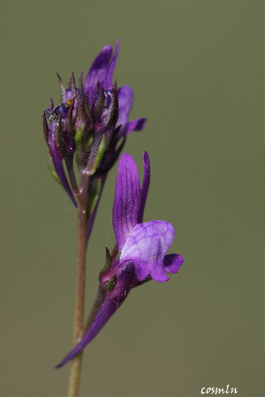 Linaria pelisseriana