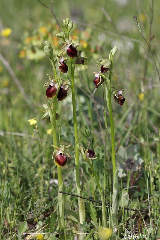 Ophris helenae