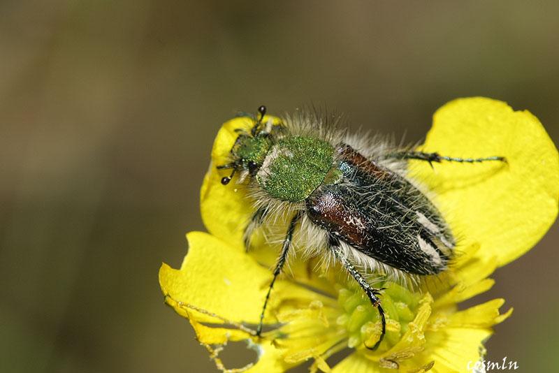 Pygopleurus apicalis