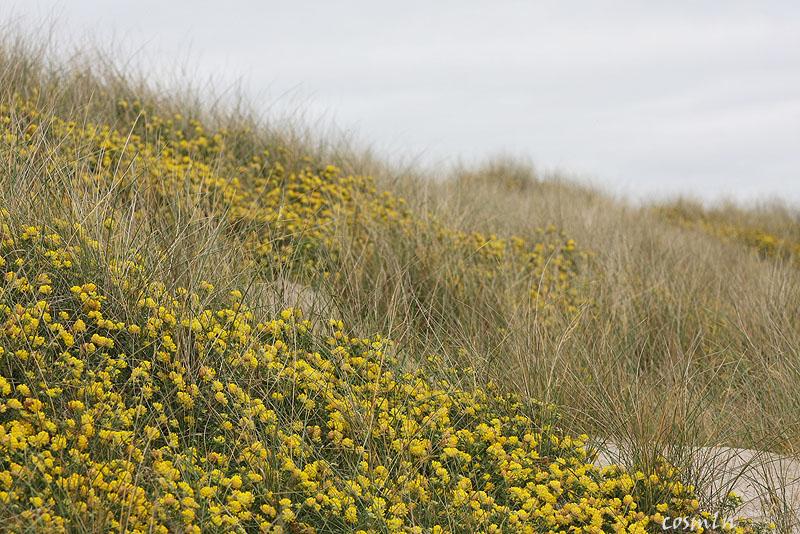 dune cu iarba marram