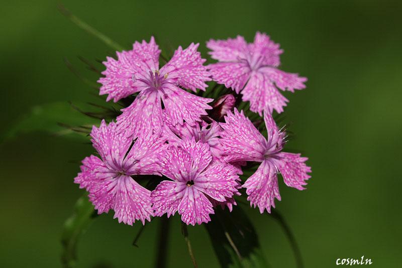 Dianthus compactus