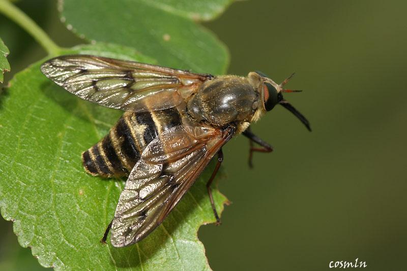 Pangonius