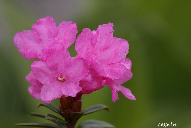 Rhododendron myrtifolium
