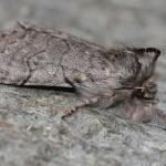 <i>Achlya flavicornis</i>