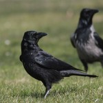 <i>Corvus corone</i>