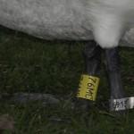 inel pe piciorul unui exemplar de <i>Cygnus olor</i>