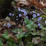 <i>Hepatica nobilis</i>