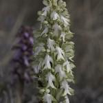 <i>Himantoglossum robertianum</i>