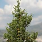 <i>Juniperus phoenicea</i>