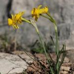 <i>Narcissus assoanus</i>