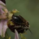 <i>Ophrys</i> and bee