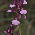 <i>Orchis papilionacea</i>