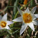 <i>Romulea bulbocodium</i>