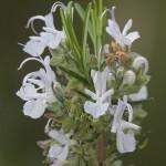 <i>Rosmarinus officinalis</i>