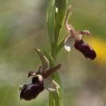<i>Ophrys</i> sp.