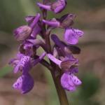 <i>Orchis morio</i>