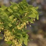 <i>Acer monspessulanum</i>