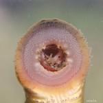 <i>Eudontomyzon vladykovi</i>