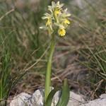 <i>Orchis pauciflora</i>