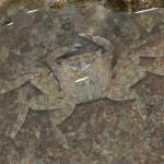 <i>Pachygrapsus marmoratus</i>