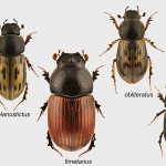 different species of Aphodius