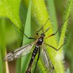 Tanyptera atrata